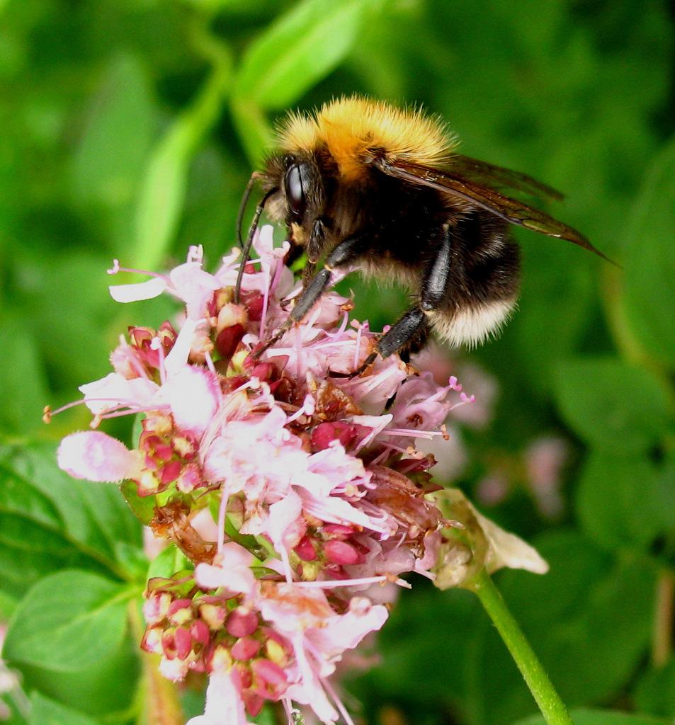Tree bee (Bombus hypnorum)
