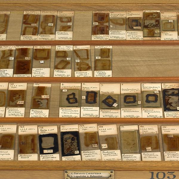Darwins Cirripedia microscope slides