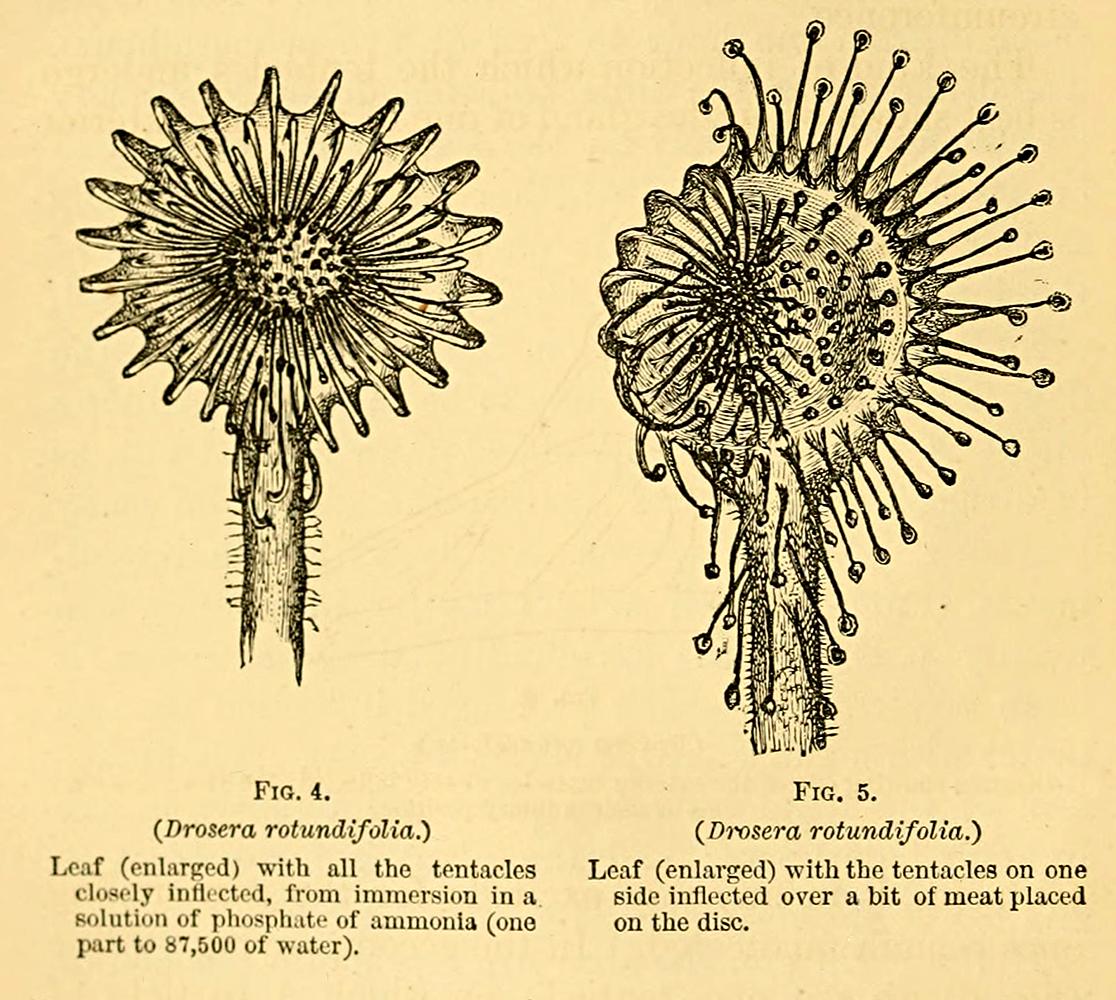 Drosera rotundiflora