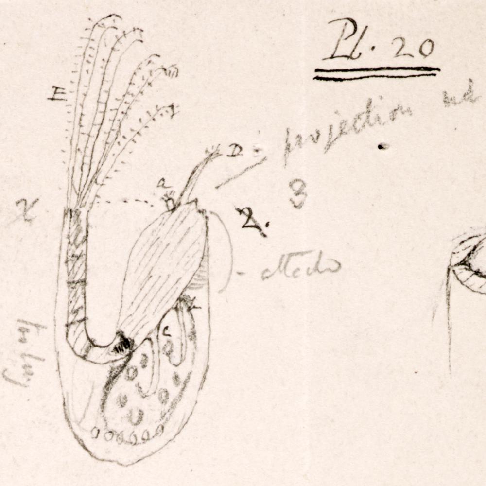 """""""Mr. Arthrobalanus"""" a barnacle observed by Darwin on board the Beagle"""